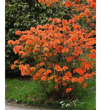 Рододендрон листопадний Gibraltar 2 річний, Рододендрон листопадный Гибралтар, Rhododendron Gibraltar