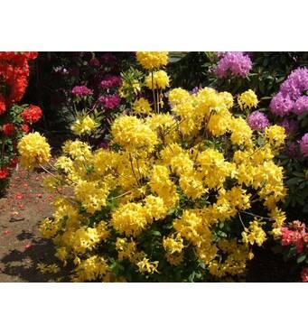 Рододендрон листопадный Anneke 2 годовой, Рододендрон листопадный Аннеке, Rhododendron Anneke