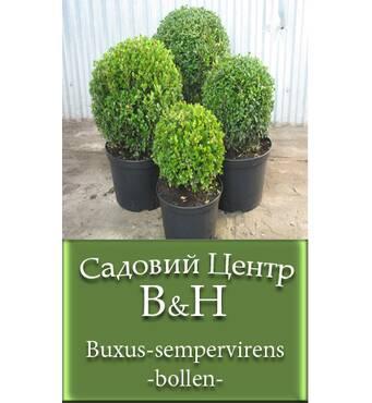 Самшит вечнозеленый (Buxus-sempervirens-bollen)
