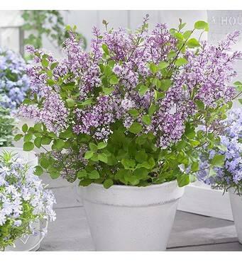 Сирень Мейера Flowerfesta (ОКН-2402) за 2-4л