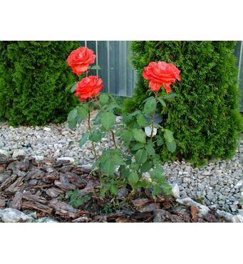 Саджанці троянд Голд Перн Штейн
