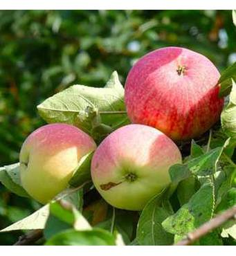 Саджанці яблуні Мелба
