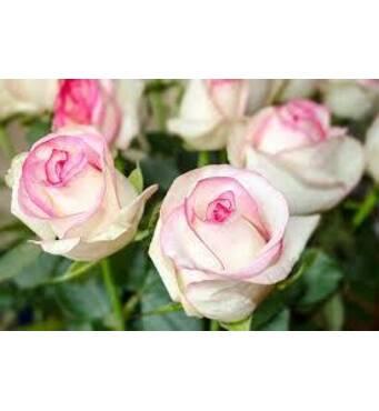 Саджанці троянд Бела Вита