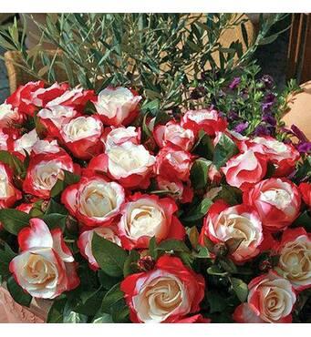 Саджанці троянд Ностальжи