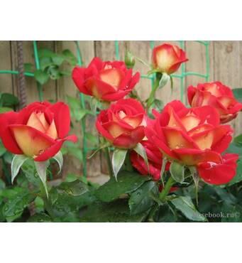 Саджанці чайно-гібридних троянд Френдшип