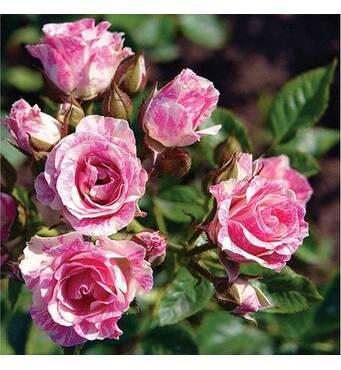 Саджанці бордюрних троянд Пинк Флеш