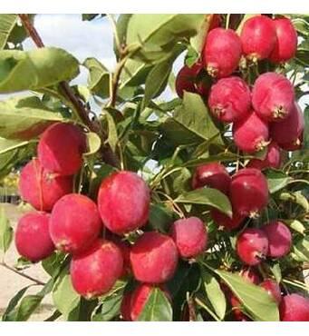 Саджанці яблуні Райка