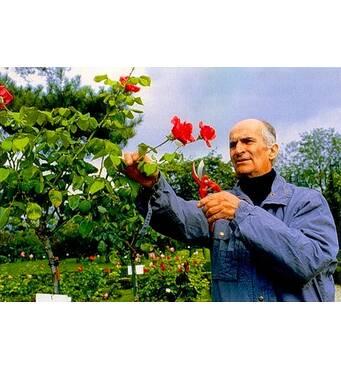 Саджанці троянд Луи де Фюнес