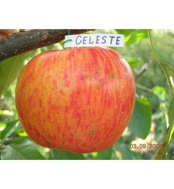 Саджанці яблуні Целесте