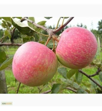 Саджанці яблуні Дарк Рубин