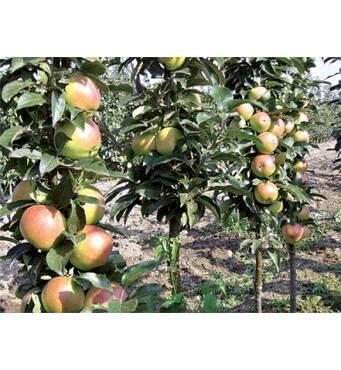 Саджанці колоновидной яблуні Останкіно