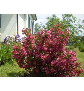 Саджанці Вейгелы рожевої