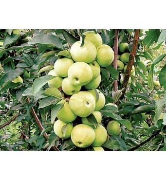 Саджанці колоновидной яблуні Трайденг