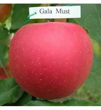 Саджанці яблуні Гала Муст