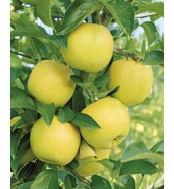 Саджанці яблуні Гібсон