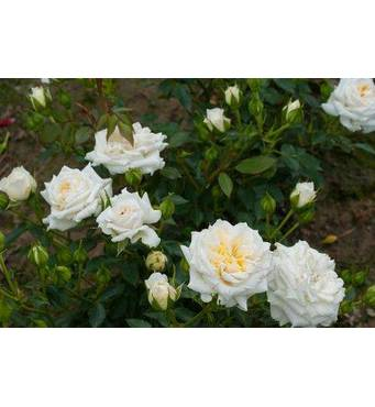 Саджанці бордюрних троянд Хонемилк