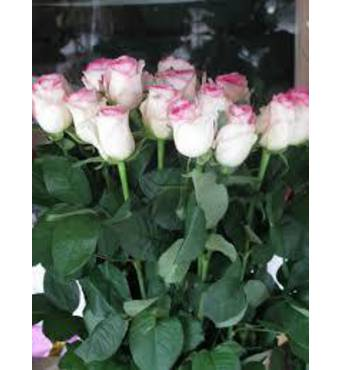 Саджанці троянд Дольче Вита