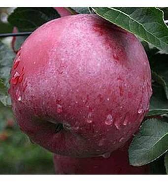 Саджанці яблуні Спартан