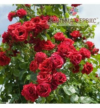 Роза плетистая сорт «Naheglut»