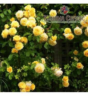 Троянда плетиста сорт Казино (Casino)