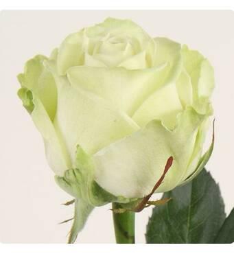 Троянда чайно-гібридна Магади NEW