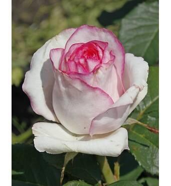 Троянда чайно-гібридна Бела Віта