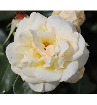 Саджанці троянд сорт Schneewalzer (Шнивальцер)