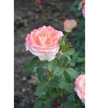 Роза чайно-гибридная Дуэт (ІТЯ-73)