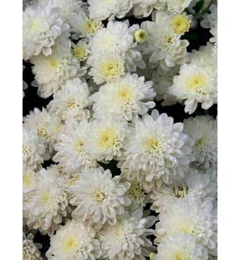 Хризантема Tricky white (ОКН-2730)
