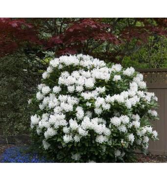 Рододендрон гібридний Cunningham's White 2 річний, Рододендрон гибридный Каннингемс Уайт, Rhododendron
