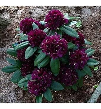 Рододендрон гибридный Polarnacht 2 годовой, Рододендрон гибридный Поларнах, Rhododendron Hybride Polarnacht