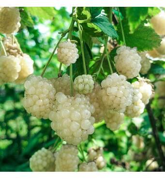Ежевика Polar Berry (ОКН-2703) за 0,5-1,5 л