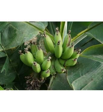 Банан Киевский карликовый (ІКМ-11) за 0,5-1,5 л