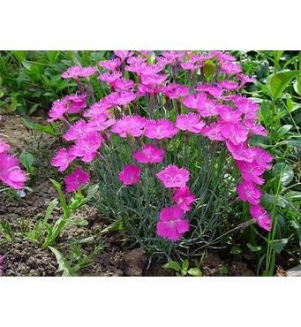 Гвоздика многолетняя Розовая Мечта (ОКН-2355) за 2-4 л