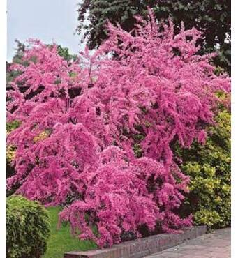 Тамарикс Pink Cascade (ІКД-33)