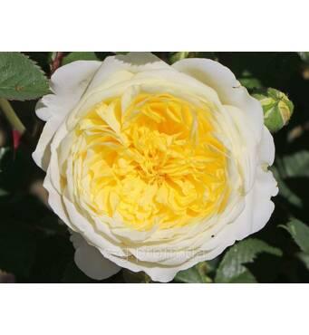 Троянда англійська Пілігрім (ІТЯ-417)