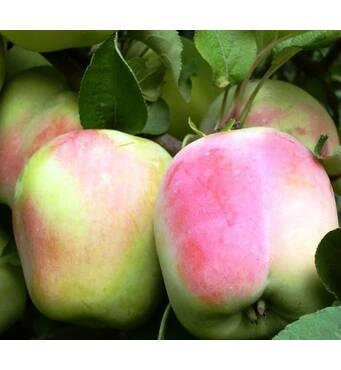 Саджанець яблуня Пам'яті Есаула (ІЯБ-150)