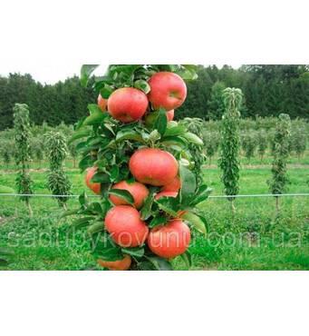 Яблуня колоновидная АРБАТ