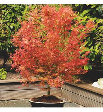 Клен пальмолистний Wilson's Pink Dwarf 2 годовой, Клен пальмолистный Вилсон Пинк Дварф, Acer palmatum