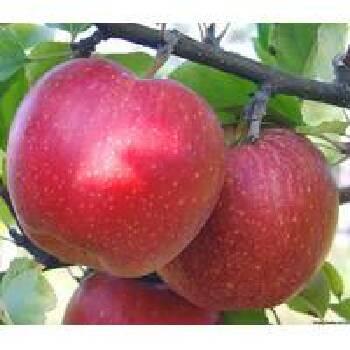 Вирощування саджанців яблуні