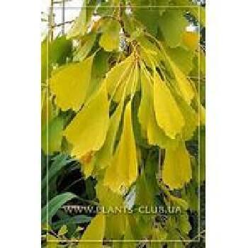 Вирощування саджанців листяних дерев