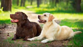 Грумінг собак: лабрадор (Львів, Україна)