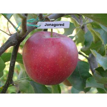Яблуня Горець (Jonagored)