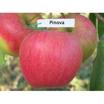 Яблуня Пінова (Pinova)