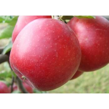Яблуня Пріам (Priam)