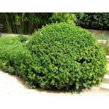 Самшит вічнозелений (Buxus sempervirens) 35x35x40 елемент живої огорожі