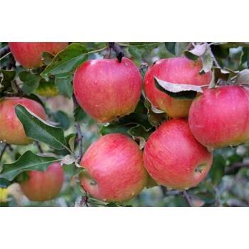 Яблуня Пріма