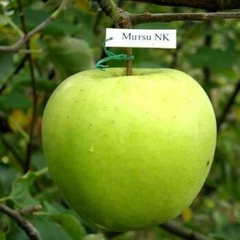 Яблуня Муцу (Mutsu)