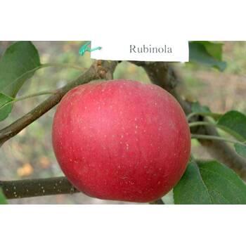Яблуня Рубінола (Rubinola)