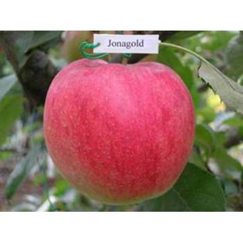 Яблуня Джонаголд (Jonagold)